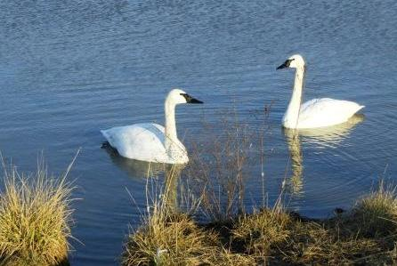 Captive Trumpeter Swans at Center